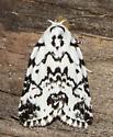 Hebrew Moth - Polygrammate hebraeicum