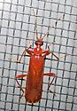 Dendroides concolor - male