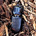 Beautiful, glossy- black beetle - Odontotaenius disjunctus