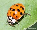 Ladybug - Harmonia axyridis
