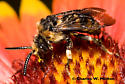 Bee - Xeromelecta interrupta - male