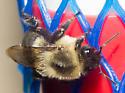 Blacklight bumble bee - Bombus impatiens