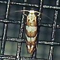 White Pine Barkminer Moth - Hodges#0708 (Marmara fasciella) - Marmara fasciella
