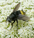 Fly with metallic golden rear end - Belvosia borealis