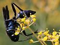 Glossy blue black wasps - Chalybion californicum