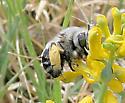 Bee - Anthophora - female