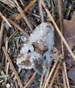Small moth - Elaphria