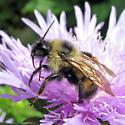 Lemon Cuckoo Bumble Bee - Bombus citrinus - male