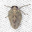 Flatid Planthopper - Thionia elliptica