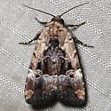 Elaphria chalcedonia