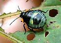 Bug Nymph - Chinavia hilaris