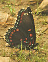 Red Spotted Purple - Limenitis arthemis