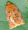 Moth - Archips cerasivorana