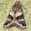 Moth - Melipotis indomita - male