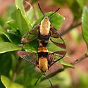 Hemaris - Hemaris diffinis - male - female