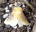 Fluffy moth - Megalopyge opercularis