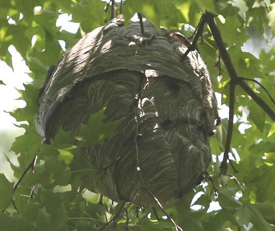 Wasp nest? - Dolichovespula maculata