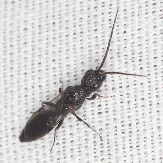 Wasp - Pristepyris armiferus - male