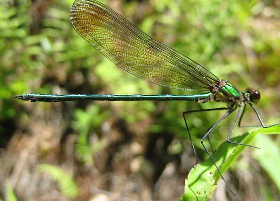Calopteryx amata