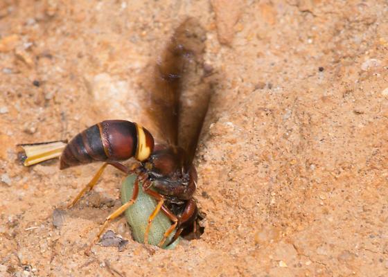 Euodynerus sp? - Euodynerus crypticus - female