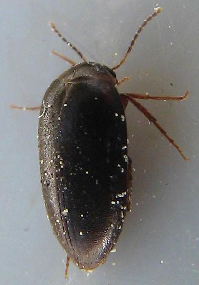 Eucinetid in California - Euscaphurus spinipes