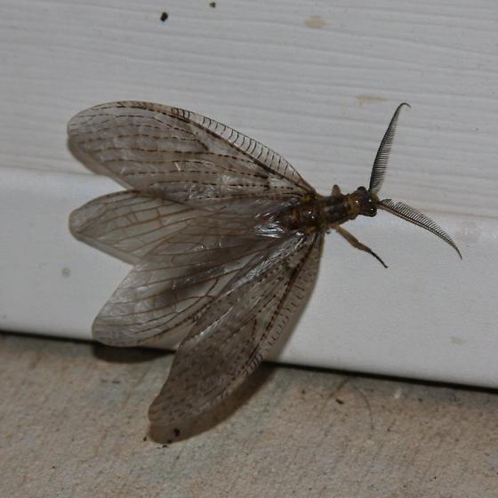 Brown gossamer winged moth - Chauliodes pectinicornis