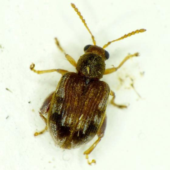 Waterfern Flea Beetle - Pseudolampsis guttata