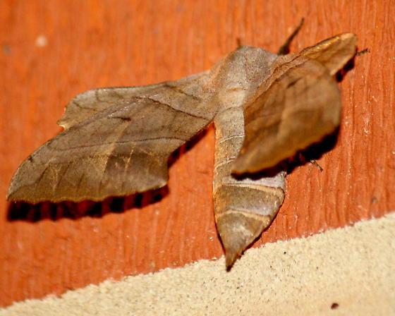 Walnut sphinx moth - Amorpha juglandis - female