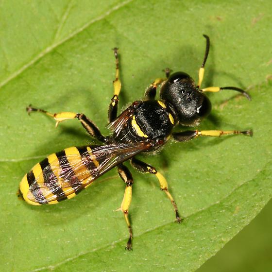 Square-headed Wasp - Ectemnius cephalotes