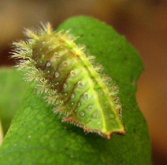 Crowned Slug - Isa textula