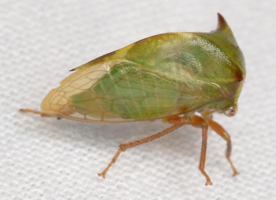 Stictocephala alta - Stictocephala
