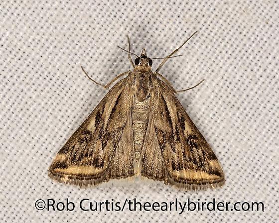 3025163 moth - Loxostege cereralis