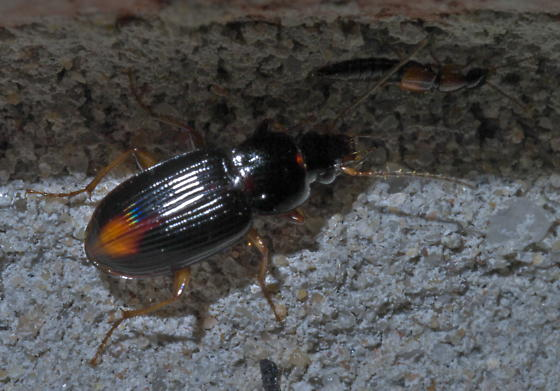 Black beetle with pale tail spot (1) - Loxandrus