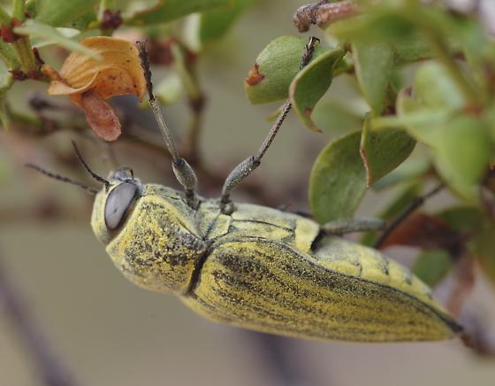 A live G. planicosta obliteratus - Gyascutus planicosta