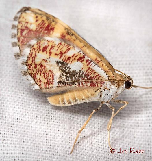 Moth - Stamnodes formosata