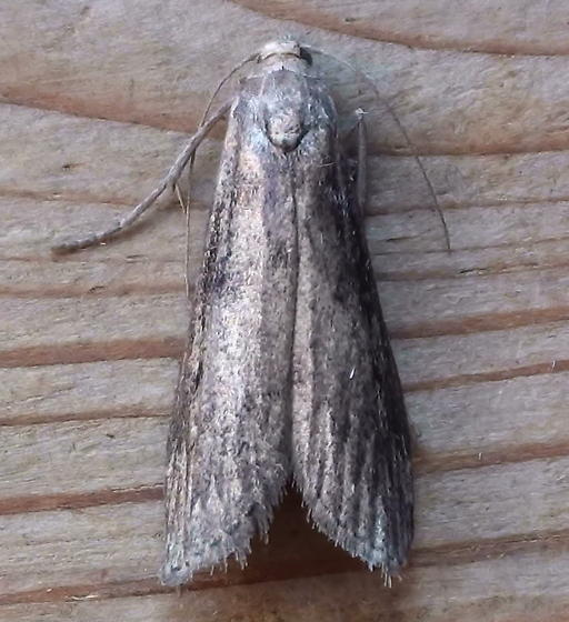 Pyralidae: Aphomia terrenella - Aphomia terrenella