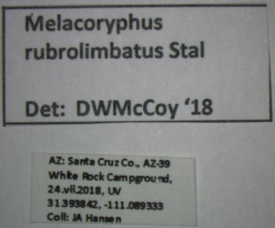 Melacoryphus rubrolimbatus