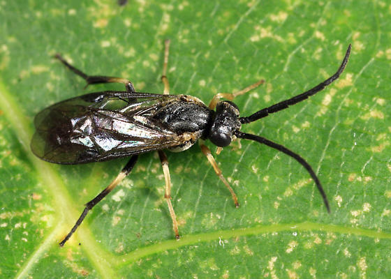 Sawfly - Pristiphora banksi - male