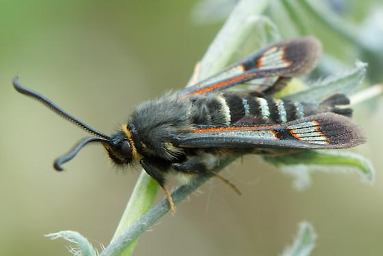 Unknown Insect - Albuna pyramidalis