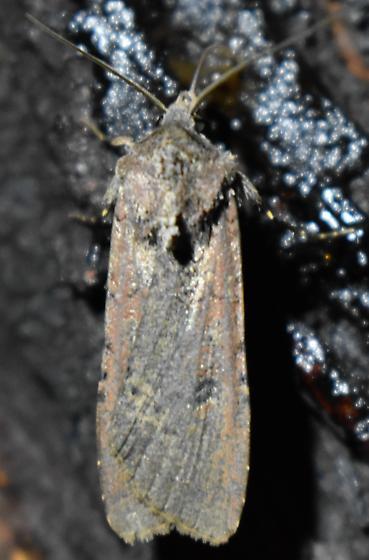 Moth - Peridroma saucia