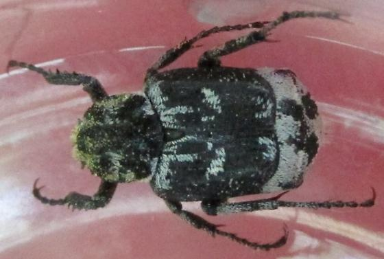scarab - Valgus hemipterus
