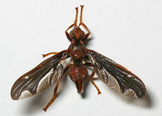 Waved Light Fly - Pyrgota undata - male