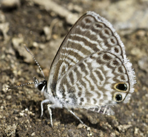 Butterflies were puddling along the trail - Leptotes marina