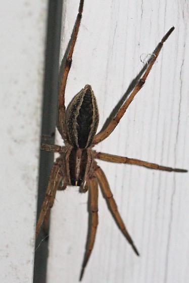 spider - Rabidosa rabida