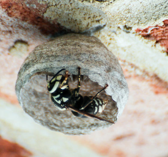 New Construction - Dolichovespula maculata - Bald-faced Hornet -#3 - Dolichovespula maculata - female