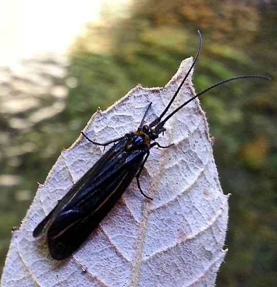 Trichoptera - Nerophilus californicus