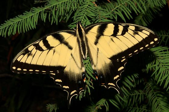 Eastern Tiger Swallowtail For Illinois In August - Papilio glaucus - male