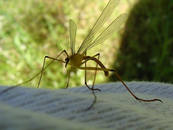Hanging fly, Amador county - Bittacus chlorostigma