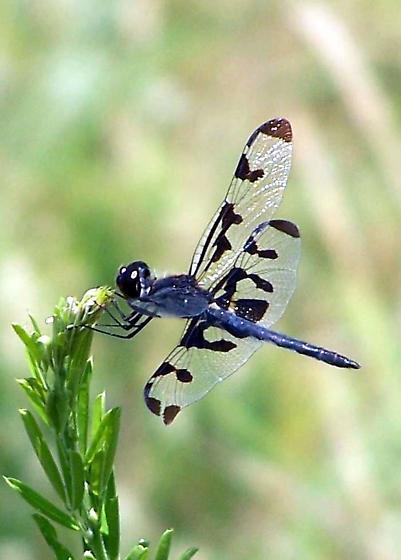 Unknown Dragonfly - Celithemis fasciata