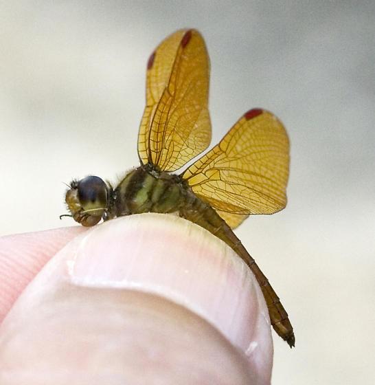 Slough Amberwing - Perithemis domitia